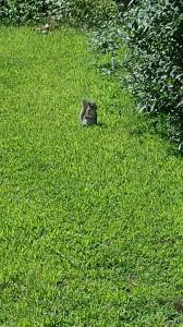 Squirrel inspecting shrub