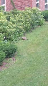 Woodchuck investigates shrubbery